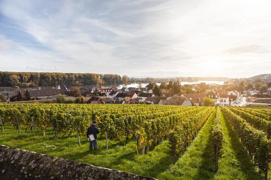 Rheinhessen german wine tours